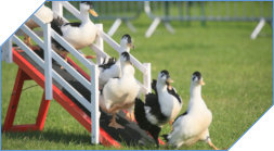 Duck herding and sheepdog display