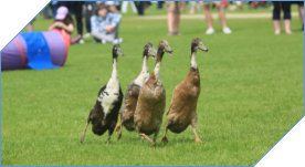 Duck herding for all events